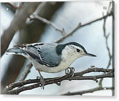 Acrylic Print featuring the photograph White Breasted Nuthatch 2017 2 by Lara Ellis