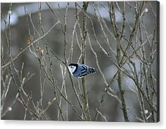 White Breasted Nuthatch 3 Acrylic Print by George Jones