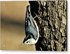 White-breasted Nuthatch On Tree Acrylic Print