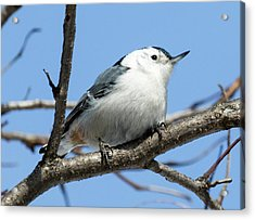White-breasted Nuthatch Perched Acrylic Print