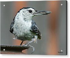 White-breasted Nuthatch With Sunflower Seed Acrylic Print