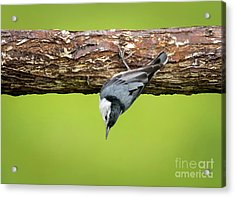Acrylic Print featuring the photograph White-breasted Nuthatches by Ricky L Jones