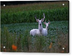 White Bucks Acrylic Print