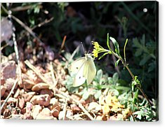 White Butterfly On Goldenseal Acrylic Print by Colleen Cornelius