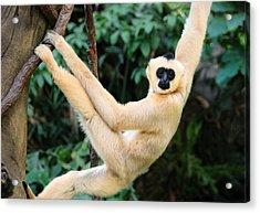 White-cheeked Gibbon Acrylic Print by Jim Hughes