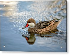 White-cheeked Pintail Acrylic Print