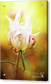 White Chinese Peony Laden With Raindrops Acrylic Print