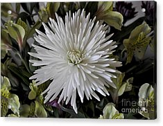 White Chrysanthemum Acrylic Print