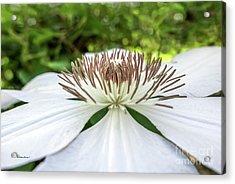 White Clematis Flower Garden 50146 Acrylic Print