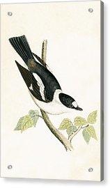 White Collared Flycatcher Acrylic Print
