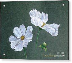 White Cosmos Acrylic Print by Phyllis Howard