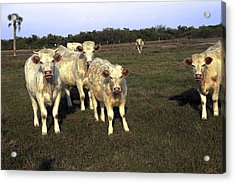 Acrylic Print featuring the photograph White Cows by Sally Weigand