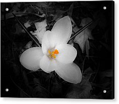 White Crocus - Edit Acrylic Print