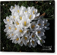 White Crocuses Acrylic Print