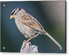 White-crowned Sparrow Acrylic Print by Carl Olsen
