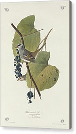 White-crowned Sparrow Acrylic Print by Rob Dreyer