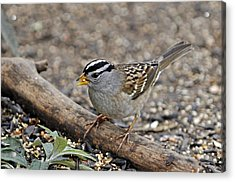 White Crowned Sparrow With Seeds Acrylic Print by Laura Mountainspring