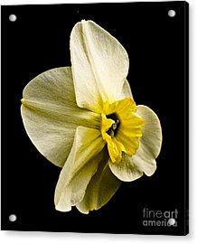 White Daffodil  Acrylic Print by Emilio Lovisa