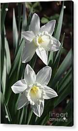 White Daffodils #2 Acrylic Print