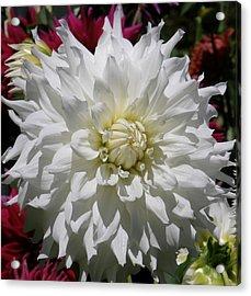 White Dahlia Photo Acrylic Print by Judy Mercer