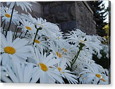 White Daisies Acrylic Print by Jean Booth