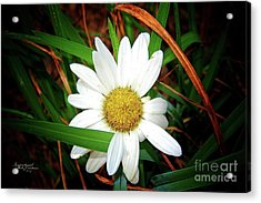 White Daisy Acrylic Print by Inspirational Photo Creations Audrey Woods