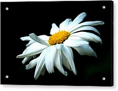 Acrylic Print featuring the photograph White Daisy Flower In The Wind by Alexander Senin
