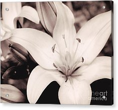 White Day Lily Acrylic Print by Mindy Sommers