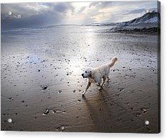 White Dog Acrylic Print by Svetlana Sewell