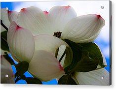 White Dogwood Flower Acrylic Print by David Patterson