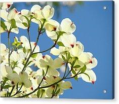 White Dogwood Flowers 1 Blue Sky Landscape Artwork Dogwood Tree Art Prints Canvas Framed Acrylic Print by Baslee Troutman
