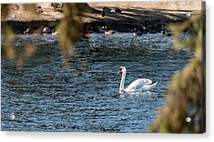 Acrylic Print featuring the photograph White Duck by Onyonet  Photo Studios