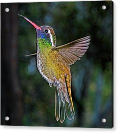 Acrylic Print featuring the photograph White Eared Hummingbird by Gregory Scott
