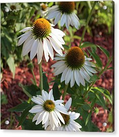 White Echinacea Acrylic Print by Suzanne Gaff