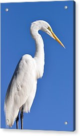 White Egret Against Blue Sky Acrylic Print by Rose  Hill