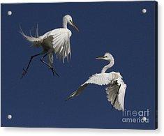 White Egret Ballet Acrylic Print by Myrna Bradshaw