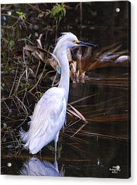 White Egret In Florida Pond Acrylic Print