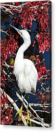 White Egret In Red Maple Tree Acrylic Print by Rose  Hill
