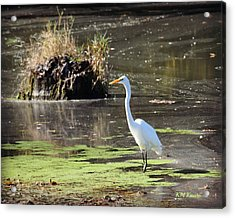 White Egret In The Shallows Acrylic Print