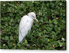 Acrylic Print featuring the photograph White Egret by Monte Stevens