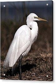 White Egret Portrait Acrylic Print by Rose  Hill