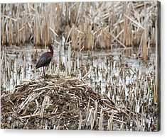 White-faced Ibis 2017-1 Acrylic Print by Thomas Young