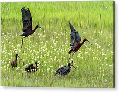 White-faced Ibis Rising, No. 1 Acrylic Print