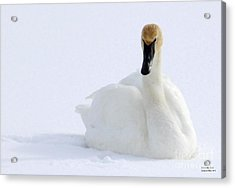White Feathers On Snow Acrylic Print by Philip Bracco