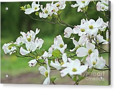 White Flowering Dogwood Acrylic Print