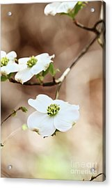 Acrylic Print featuring the photograph White Flowering Dogwood Tree Blossom by Stephanie Frey