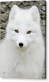 White Fox Acrylic Print