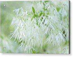 White Fringetree Acrylic Print