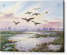 White-fronted Geese Alighting Acrylic Print