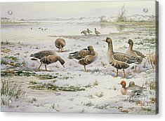 White Fronted Geese Acrylic Print by Carl Donner
